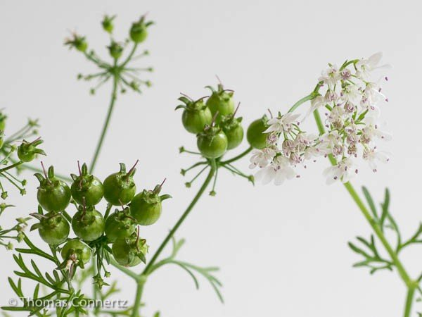 Koriander Samen grün